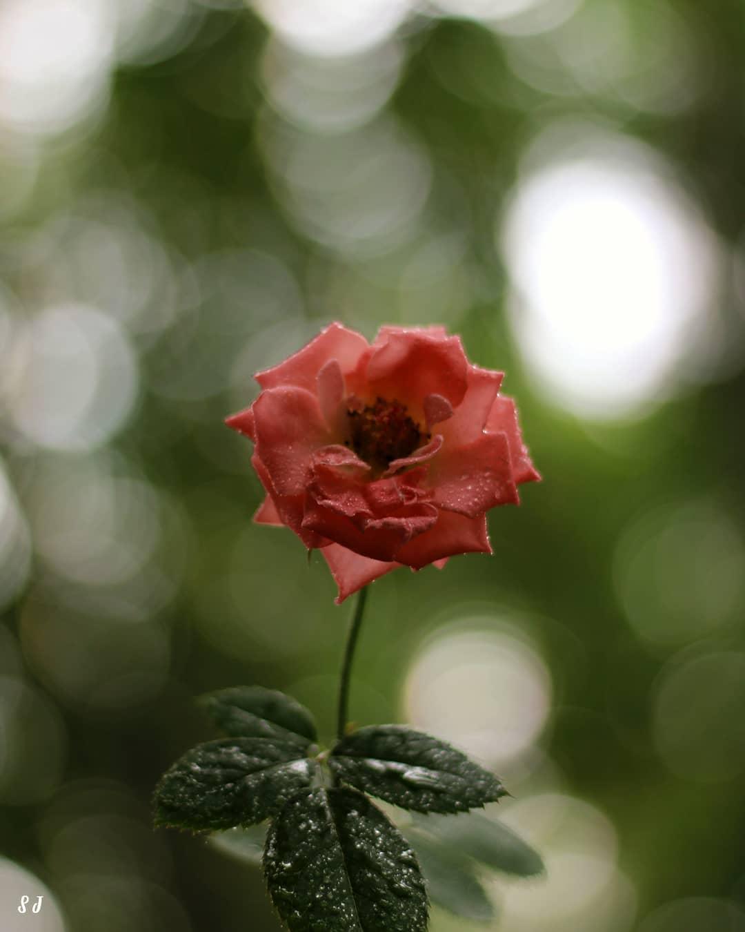 Rose: Symbol of love